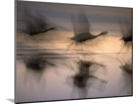 Panned View of Flamingos Preparing to Take Flight-Joel Sartore-Mounted Photographic Print