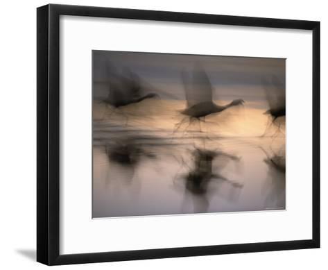 Panned View of Flamingos Preparing to Take Flight-Joel Sartore-Framed Art Print
