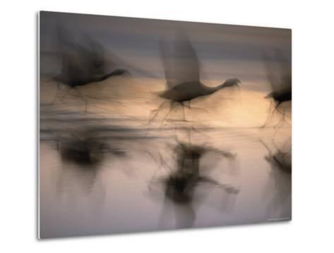Panned View of Flamingos Preparing to Take Flight-Joel Sartore-Metal Print