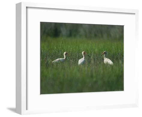 View of Ibises-Stephen Alvarez-Framed Art Print