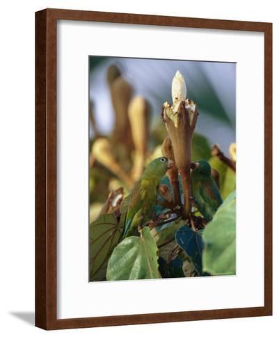 Orange-Chinned Parakeets Pick Holes in Balsa Blossoms to Drink Nectar-Mattias Klum-Framed Art Print
