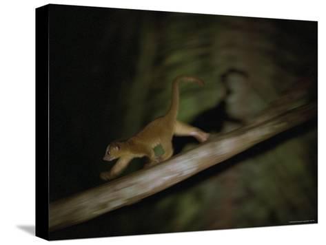 A Kinkajou Runs Across Balsa Limbs During its Nightly Feeding-Mattias Klum-Stretched Canvas Print
