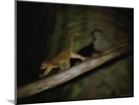 A Kinkajou Runs Across Balsa Limbs During its Nightly Feeding-Mattias Klum-Mounted Photographic Print