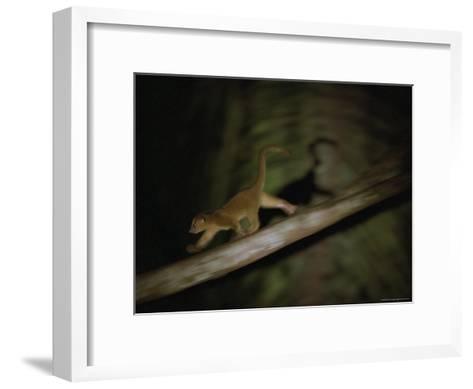 A Kinkajou Runs Across Balsa Limbs During its Nightly Feeding-Mattias Klum-Framed Art Print