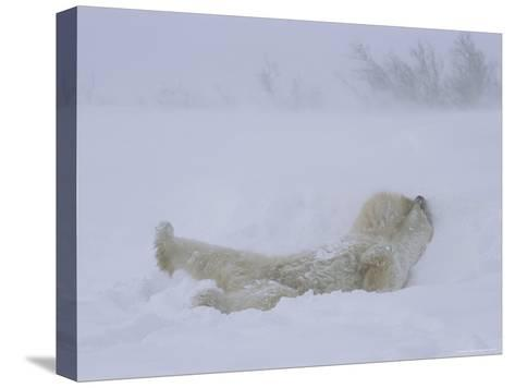 A Polar Bear Rolls About in a Snow Drift-Norbert Rosing-Stretched Canvas Print