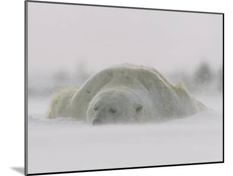 A Male Polar Bear Rests in Snow-Norbert Rosing-Mounted Photographic Print