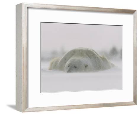 A Male Polar Bear Rests in Snow-Norbert Rosing-Framed Art Print
