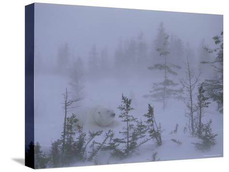 A Polar Bear Rests Amid Evergreen Trees in an Autumn Blizzard-Norbert Rosing-Stretched Canvas Print