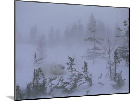 A Polar Bear Rests Amid Evergreen Trees in an Autumn Blizzard-Norbert Rosing-Mounted Photographic Print