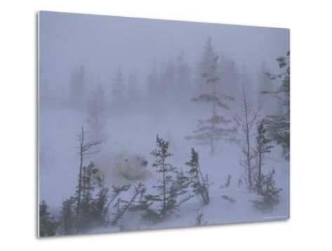 A Polar Bear Rests Amid Evergreen Trees in an Autumn Blizzard-Norbert Rosing-Metal Print