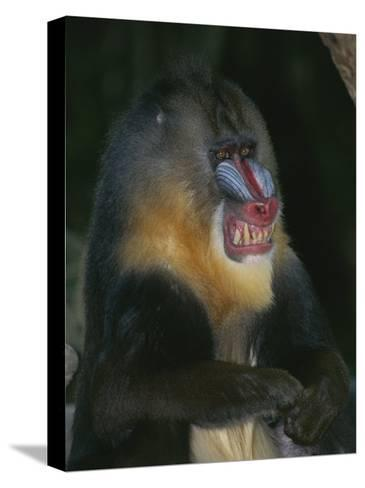 A Captive Adult Male Mandrill, Mandrillus Sphinx, from Africa-Tim Laman-Stretched Canvas Print