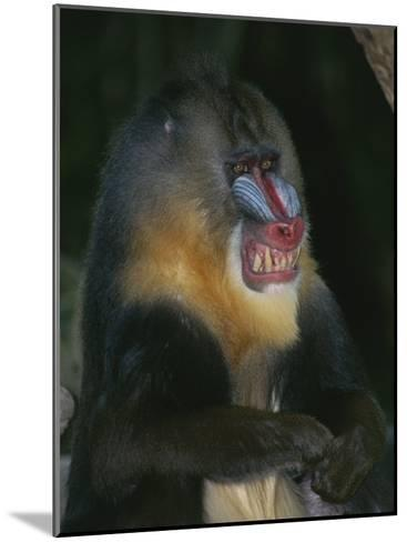 A Captive Adult Male Mandrill, Mandrillus Sphinx, from Africa-Tim Laman-Mounted Photographic Print