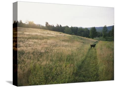 A Dog Waits for its Master in a Swath of Freshly Mown Field at Sunset-Bill Curtsinger-Stretched Canvas Print