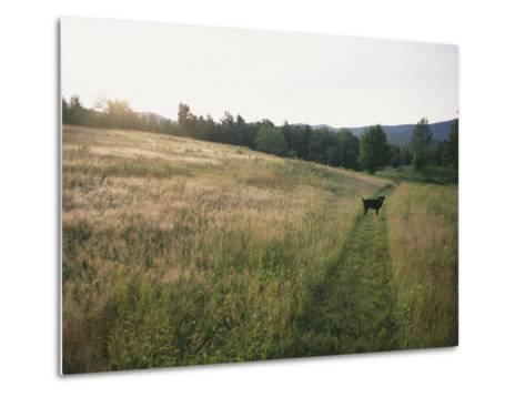 A Dog Waits for its Master in a Swath of Freshly Mown Field at Sunset-Bill Curtsinger-Metal Print
