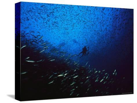 A Diver Swimming Amid a Huge School of Small Fish-Heather Perry-Stretched Canvas Print