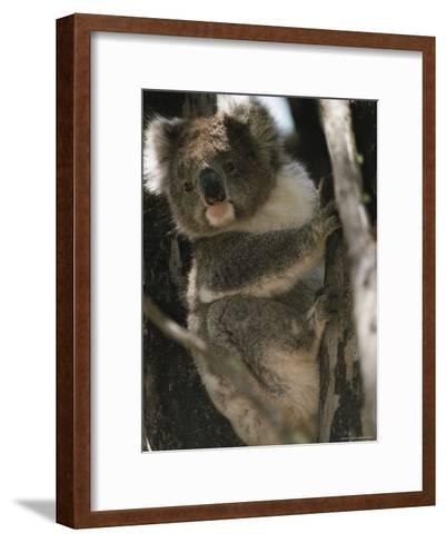 A Koala Bear Clinging to a Tree Trunk-Medford Taylor-Framed Art Print