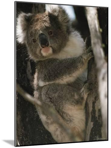 A Koala Bear Clinging to a Tree Trunk-Medford Taylor-Mounted Photographic Print