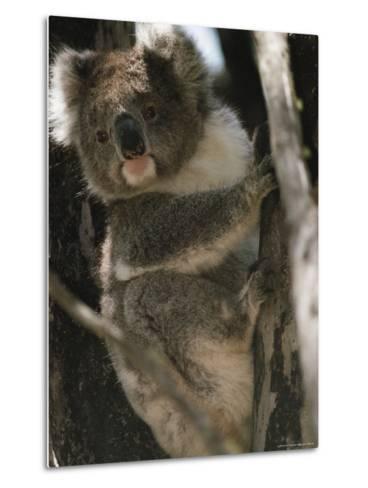 A Koala Bear Clinging to a Tree Trunk-Medford Taylor-Metal Print