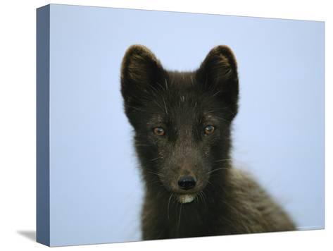 Portrait of an Arctic Fox in its Summer Coat-Joel Sartore-Stretched Canvas Print