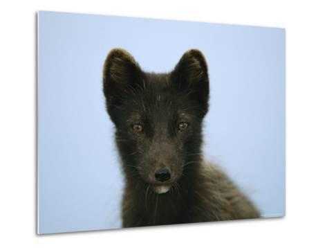 Portrait of an Arctic Fox in its Summer Coat-Joel Sartore-Metal Print