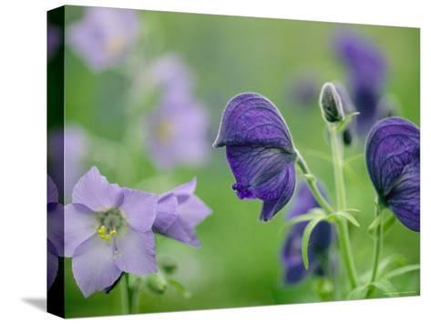 Close View of Wooly Geranium (Left) and Monkshood Flowers-Joel Sartore-Stretched Canvas Print