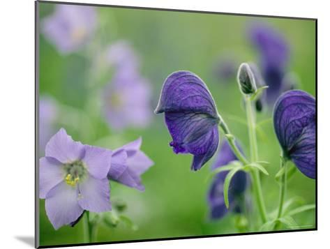 Close View of Wooly Geranium (Left) and Monkshood Flowers-Joel Sartore-Mounted Photographic Print