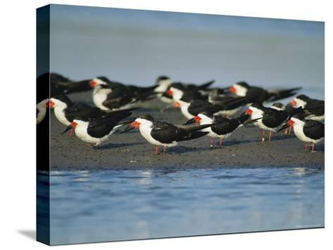 A Group of Black Skimmers Stand on a Sandbar-Joel Sartore-Stretched Canvas Print
