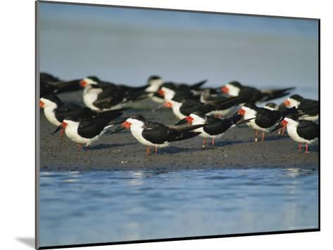 A Group of Black Skimmers Stand on a Sandbar-Joel Sartore-Mounted Photographic Print