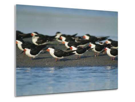 A Group of Black Skimmers Stand on a Sandbar-Joel Sartore-Metal Print