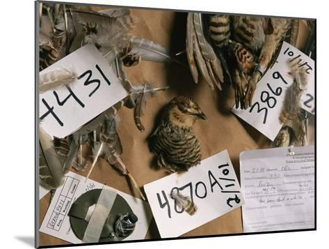 Dead Attwaters Prairie Chickens (Tympanuchus Cupido Attwateri) with Paper Tags on Them-Joel Sartore-Mounted Photographic Print