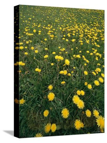 A Dandelion Filled Field in Rogers Pass-Michael S^ Lewis-Stretched Canvas Print