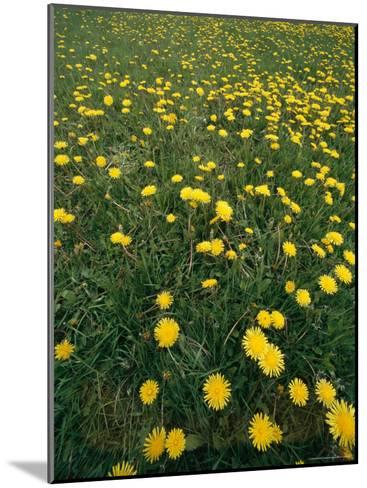 A Dandelion Filled Field in Rogers Pass-Michael S^ Lewis-Mounted Photographic Print