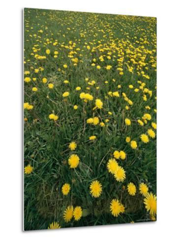 A Dandelion Filled Field in Rogers Pass-Michael S^ Lewis-Metal Print