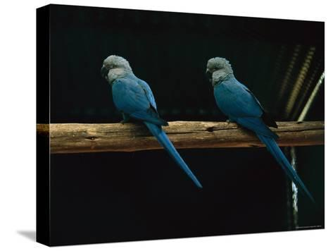 Spixs Macaws Perch on a Branch at Sao Paulo Zoo-Joel Sartore-Stretched Canvas Print