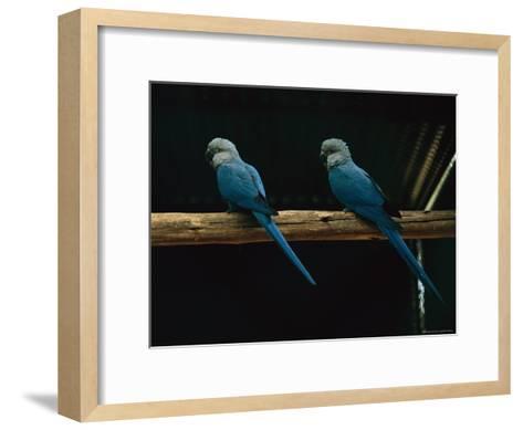 Spixs Macaws Perch on a Branch at Sao Paulo Zoo-Joel Sartore-Framed Art Print