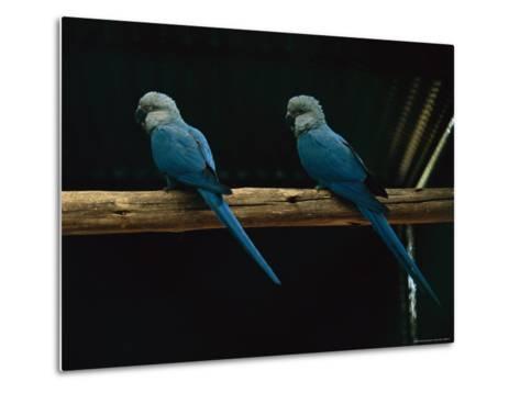 Spixs Macaws Perch on a Branch at Sao Paulo Zoo-Joel Sartore-Metal Print