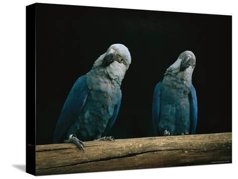 A Pair of Spixs Macaws Perches on a Branch at Sao Paulo Zoo-Joel Sartore-Stretched Canvas Print