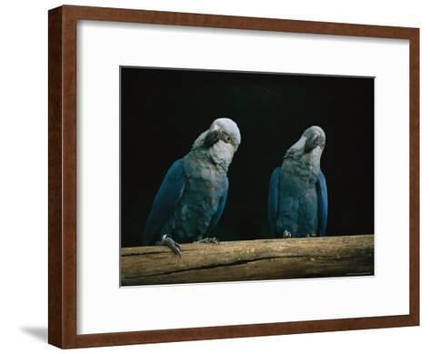 A Pair of Spixs Macaws Perches on a Branch at Sao Paulo Zoo-Joel Sartore-Framed Art Print