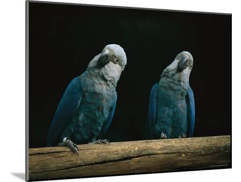 A Pair of Spixs Macaws Perches on a Branch at Sao Paulo Zoo-Joel Sartore-Mounted Photographic Print