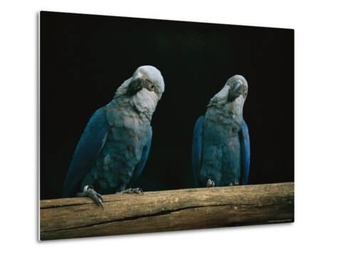 A Pair of Spixs Macaws Perches on a Branch at Sao Paulo Zoo-Joel Sartore-Metal Print