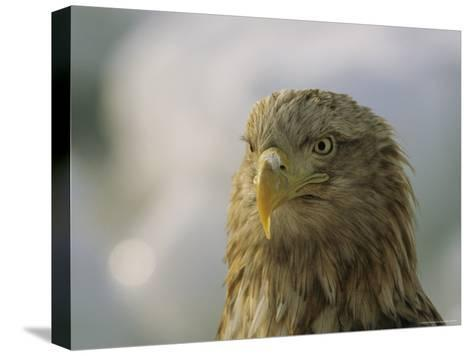 Portrait of an Endangered White-Tailed Sea Eagle-Tim Laman-Stretched Canvas Print