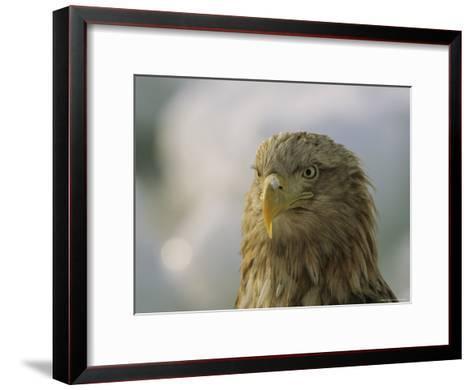Portrait of an Endangered White-Tailed Sea Eagle-Tim Laman-Framed Art Print