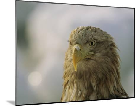 Portrait of an Endangered White-Tailed Sea Eagle-Tim Laman-Mounted Photographic Print
