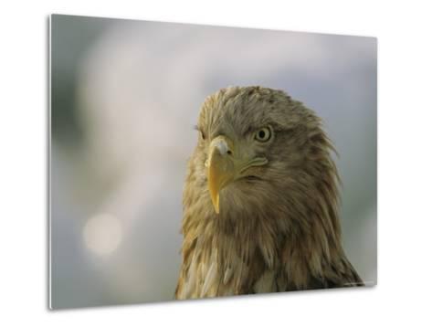 Portrait of an Endangered White-Tailed Sea Eagle-Tim Laman-Metal Print
