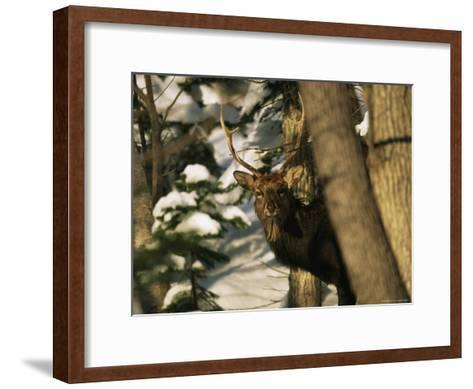 A Male Sika Deer in a Snowy Forest-Tim Laman-Framed Art Print