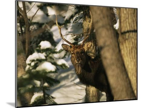 A Male Sika Deer in a Snowy Forest-Tim Laman-Mounted Photographic Print