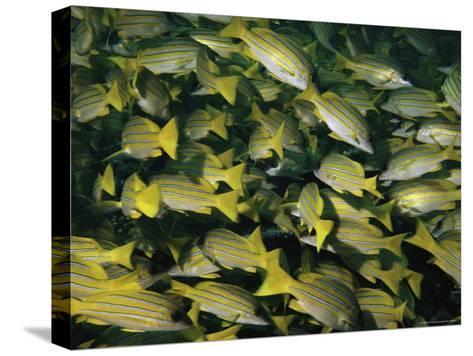 A School of Blue-Striped Snapper Fish (Lutjanus Kasmira)--Stretched Canvas Print
