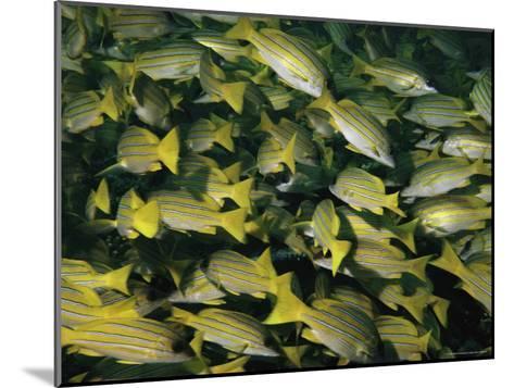 A School of Blue-Striped Snapper Fish (Lutjanus Kasmira)--Mounted Photographic Print