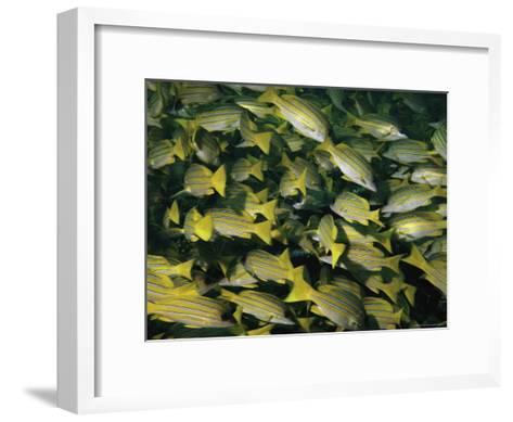 A School of Blue-Striped Snapper Fish (Lutjanus Kasmira)--Framed Art Print