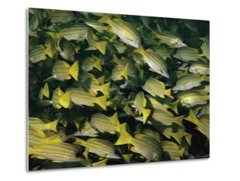 A School of Blue-Striped Snapper Fish (Lutjanus Kasmira)--Metal Print